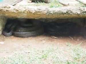 P1301706 - Python Entebbe dierentuin