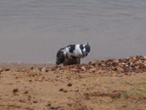 P1301723 - IJsvogel Entebbe dierentuin