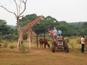 P1301733 - Giraffes voeren Entebbe dierentuin