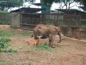 P1301742 - Eenzame olifant met vriendje Entebbe dierentuin