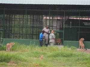 P1301754 - Jachtluiparden voeren Entebbe dierentuin