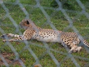 P1301760 - Jachtluipaard Entebbe dierentuin
