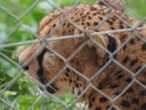 P1301769 - Jachtluipaard Entebbe dierentuin