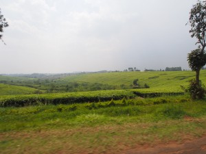 P2041865 - Theeplantages onderweg naar Kibale NP