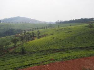 P2051882 - Theeplantages onderweg naar Kibale NP