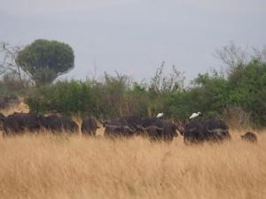 P2062012 - Buffels QENP