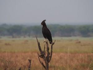 P2062070 - Afrikaanse zwarte kuifarend QENP