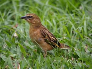 P2112315 - Wevervogel Bunyoni Overlanders Camp