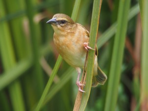 P2112316 - Wevervogel Bunyoni Overlanders Camp