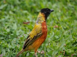 P2112328 - Wevervogel Bunyoni Overlanders Camp