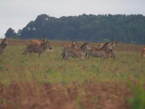 P3084267 - Zebra's en elandantilopen Nyika NP