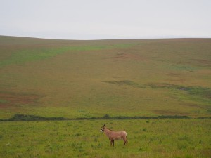 P3084090 - Roanantilope Nyika NP
