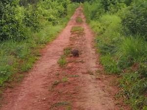 P3104469 - Klipdas tijdens wandelen bij Luwawa