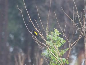 P3104492 - Onbekende vogel Luwawa