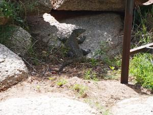 P3144673 - Flinke hagedis bij kampje Chembe