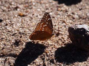 P3144717 - Vlinder bij kampje Chembe