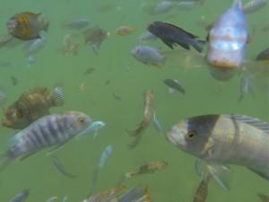 GOPR8804 - Leuke visjes bij Lake Malawi NP (1)