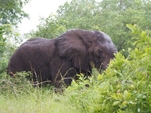 P3205176 - Oplossing vorige foto, een olifant Majete NP
