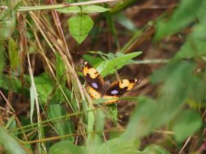 P3205201 - Vlinder Majete NP