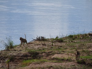 P3245263 - Bavianen in Wildlife Camp