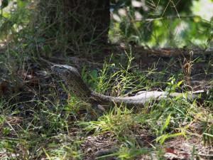 P3255300 - Hagedis Wildlife Camp