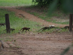 P3265309 - Zebramangoesten Wildlife Camp