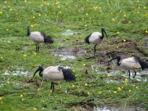 P3285389 - Heilige ibissen langs de weg