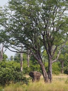 P3295444 - Olifant South Luangwa NP