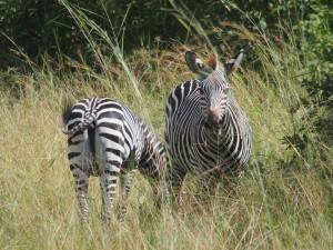 P3295457 - Crawshays zebras South Luangwa NP