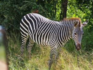 P3295458 - Crawshay zebras South Luangwa NP