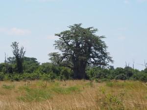 P3295471 - Baobab South Luangwa NP