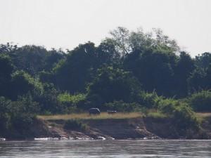 P3295592 - Nijlpaard met jong overkant Wildlife Camp