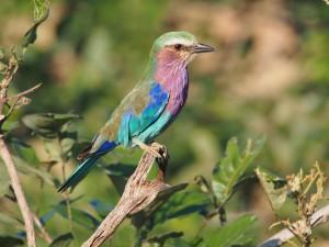 P3295598 - Vorkstaartplevier South Luangwa NP