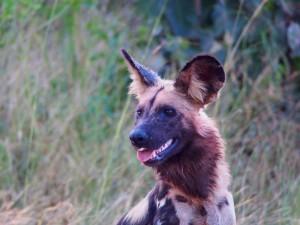P3295637 - Wilde hond South Luangwa NP