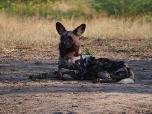 P3295649 - WIlde hond South Luangwa NP