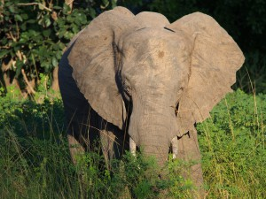 P3295658 - Olifant South Luangwa NP