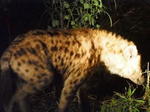 P3295710 - Hyena South Luangwa NP