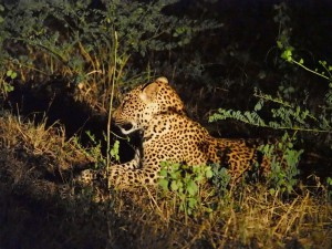 P3295724 - Luipaard South Luangwa NP
