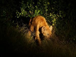 P3295796 - Hyena South Luangwa NP