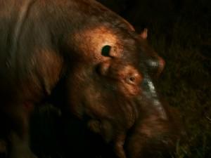 P3295799 - Nijlpaard South Luangwa NP