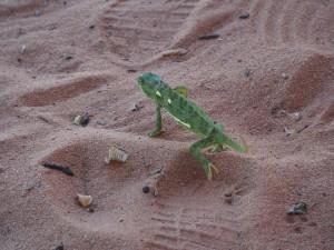 P4126175 - Kameleon voor hij boos werd (bij Kariba meer) (1)