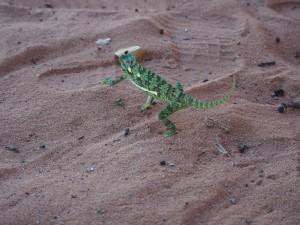 P4126177 - Kameleon nadat hij boos werd (bij Kariba meer) (1)