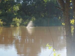 P4166266 - Nijlpaard bij Maramba River Lodge Livingstone