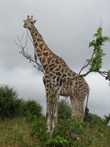 IMG 4282 - Giraffe Chobe NP