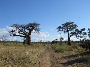 IMG 4340 - Baobabs Chobe NP
