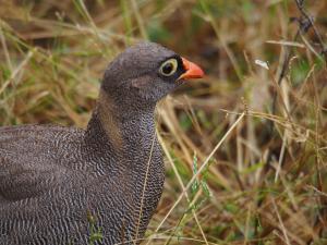 P4247044 - Onbekende vogel Chobe NP