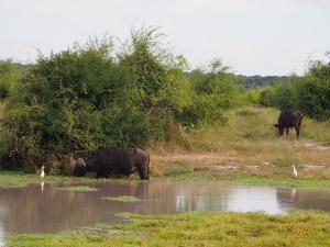 P4247126 - Buffels Chobe NP