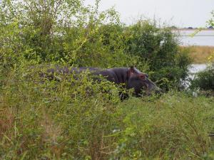 P4247143 - Nijlpaard aan de wandel Chobe NP