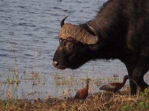 P4247189 - Zwarte ibissen en buffel Chobe NP