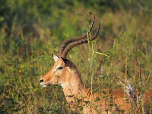 P4247212 - Tevreden impala Chobe NP
